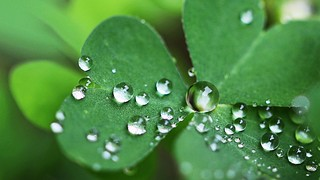 Rain drops on clover leaves 🍀