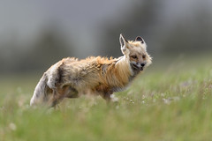 Fabulous Fox (jrlarson67) Tags: red fox yellowstone nationalpark wind blowing hair wildlife nature animal