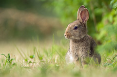 Wild Rabbit bunny (Wouter's Wildlife Photography) Tags: wildrabbit rabbit animal mammal rodent nature naturephotography wildlife wildlifephotography oryctolaguscuniculus bunny young ameland