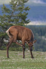 EOS4455 Must be viewed large. Female Elk or Wapiti. Banff National Park, Alberta Canada (E.W. Smit Wildlife) Tags: wildanimals wapiti travelalberta nationalpark canon canon1dmarkiii banffnationalpark banff banffalbertacanada banffcanada banffandarea elk alberta canada 1dmarkiii outdoor albertarockies tourist tourists mountains rockies nature canadianrockies canadianrockymountains wildrosecountry canonef400mmf56l banffalberta wildlife telephotolens tripod supertelephotolens outdoors park parks parkscanada animal animals albertacanada gitzo gitzotripod canonef400mmf56lusm ef400mmf56lusm ef400mmf56l