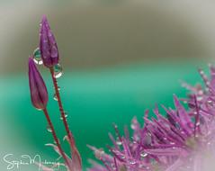 Allium Globemaster (stephenmulvaney) Tags: alliums rain floral waterdroplets flickrsfantasticflowers fantasticflowers