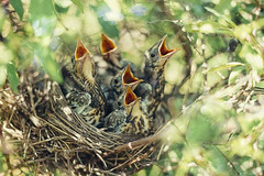 Baby birds in the nature (♥Oxygen♥) Tags: bird baby thrush nest animal chicks wild hungry immature unfledged avian beak branch breast macro brood callow cherish eat feather fly food green ground habitat hunter leaf little mouth nature nestling newborn nurture plumage protect rearing small tree trustful trusting wildlife wings woods feed birth pine earthworm fed yellow