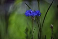 my little island in blue (***étoile filante***) Tags: flower blume cornflower kornblume nature natur meadow wiese blue blau green grün grass gras summer sommer dof bokeh