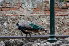 peacock (rob.settanta) Tags: peacock lisboa majesty elegance bird animal colors