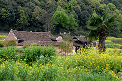 Rapeseed field 油菜花田 (MelindaChan ^..^) Tags: hunan china 湖南 rapeseed field 油菜花田 village 勾藍瑤寨 flower yellow rural agriculture life plant vegetable house chanmelmel melmel melinda melindachan 油菜花 芥花籽 田 花田