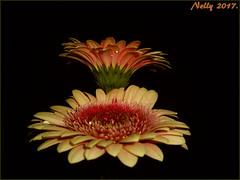 *Two...on black!* (MONKEY50) Tags: art digital colors july flowers gerbera daisy nature pentaxart pentaxflickraward 172017 macro musictomyeyes flickraward contactgroups autofocus hypothetical