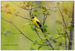 Chardonneret jaune/  American Goldfinch /Carduelis tristis (beluga 7) Tags: chardonneret jaune american goldfinch carduelis tristis chardonneretjaune americangoldfinch carduelistristis
