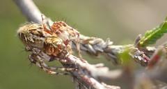 Oxyopes sp. (Phil Arachno) Tags: mönchbruch arachnida chelicerata germany hessen deutschland spider spinne