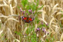 little general (daniel.markow) Tags: little general kleiner butterfly schmetterling