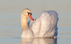 Mute Swan (mandokid1) Tags: 5dmk111 canon canon500f4 birds waterfowl