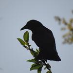 crow 6 12 17 thumbnail