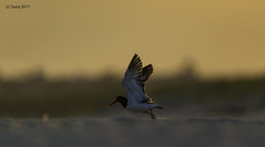 American Oystercatcher (suraj.ramamurthy) Tags: nikkor500mm nikond4 nickersonbeach longislandbeaches oystercatcher birdsofnorthamerica birdsoflongisland