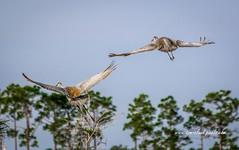 Sandhill Crane Duo (tclaud2002) Tags: crane sandhill sandhillcrane bird wildlife fly flying flight soar soaring sky bluesky trees treetops pineglades naturalarea pinegladesnaturalarea nature mothernature outdoors outside jupiter florida usa