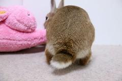 Ichigo san 740 (Ichigo Miyama) Tags: いちごさん。うさぎ ichigo san rabbit うさぎ netherlanddwarfbunny netherlanddwarf brown ネザーランドドワーフ ペット いちご