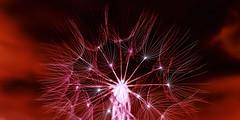 Wiesen - Bocksbart (memories-in-motion) Tags: pflanze plant nature natur silhouette detail macro close different art tragopogonpratensis leica q weiss white red rot minimalism star wiesen bocksbart dandelion energy transmission universe