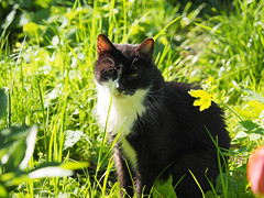 Früchling Spring wiosna (arjuna_zbycho) Tags: wiosna früchling spring natur kwiaty blumen flower natursteine felix blackcat tuxedo tuxedocat kater hauskatze cat animal cute animals pets gato kitten feline kitty kittens pet tier haustier katzen gattini gatto chat cats