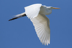 Great Egret in Flight 6-11-2017-79 (Scott Alan McClurg) Tags: aalba ardea ardeidae flickr animal back backyard bird blue bluesky flap flapping flight fly flying greategret land landing life nature naturephotography neighborhood portrait suburban summer urban white wild wildlife