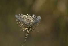 Sunlight (Gavino Bazzoni) Tags: daucuscarota crepuscolo natura softlight flowers campagna sardegna fioriturespontanee nikon carotaselvatica