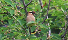 *** jaseur d amérique / cedar waxwing (ricketdi) Tags: bird jaseurdamérique cedarwaxwing bombycellacedronum coth5 ngc sunrays5 npc
