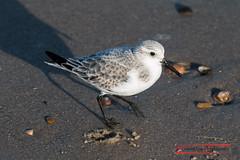 Sanderling (Calidris alba) (Thoober) Tags: calidrisalba 70d eos holland nordsee sanderling strand watt winter wasser 70200 vogel sand muscheln ef70200mmf4lisusm seashell shell