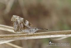 Borboleta - Libytheana carinenta (Nymphalidae) (Marquinhos Aventureiro) Tags: wildlife vida selvagem natureza floresta brasil brazil hx400 marquinhos aventureiro marquinhosaventureiro borboleta butterfly libytheana carinenta nymphalidae