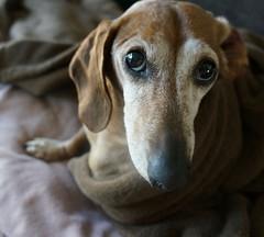 Goober....2013 (weinermobile) Tags: dog hund