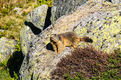 Murmeltier (oonaolivia) Tags: marmots murmeltier mountains berge graubünden grisons switzerland schweiz landscape landschaft walking hiking wildanimals