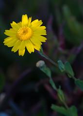 Seaside Daisy (Middle aged Nikonite) Tags: bodega bay california nikon d7200 flower nature outdoor landscape bokeh close up macro plant natural macrodreams