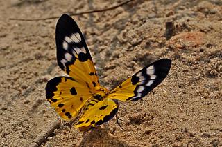 Dysphania militaris - a daytime flying moth