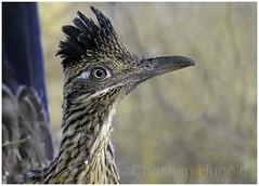 greater roadrunner (Christian Hunold) Tags: greaterroadrunner bird portrait bokeh erdkuckuck catalinastatepark sonorandesert arizona christianhunold