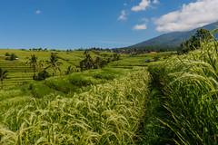 IMG_0646 (Ela&Piotr) Tags: bali indonesia indonezja jatiluwih ricefields
