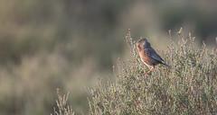 Photo of Dartford Warbler (Sylvia Undata)