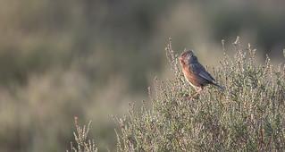 Male Dartford Warbler (Sylvia Undata)
