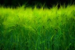 barley field (Tomo M) Tags: smileonsaturday gogreen nature green plant barley hokkaido japan windy 富良野 canon tamron