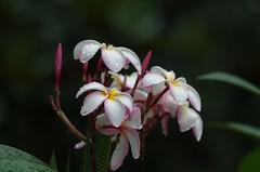 Plumeria (bamboosage) Tags: supermulticoated takumar 135 25 m42 2nd edition