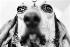 close up Gioia (andaradagio) Tags: andaradagio bianconero bw dog cane miglioramicodelluomo nadiadagaro