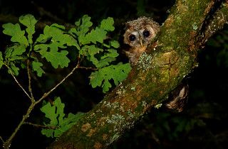 Young Tawny Owl branching