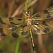 Hallowe'en Pennant - Celithemis eponina, Patuxent National Wildlife Refuge, Laurel, Maryland