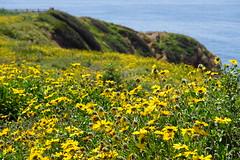 Superbloom in R.P.V. (shinnygogo) Tags: superbloom spring ranchopalosverdes rpv california losangeles op