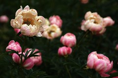 *** (pszcz9) Tags: przyroda nature natura ogródbotaniczny botanicgarden piwonia peonia peony zbliżenie closeup kwiat flower beautifulearth sony a77