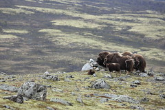 40991 (hspfoto) Tags: moschusochse herde norwegen wildlife dovrefjell