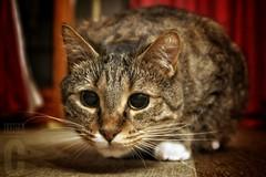 My single love!!!! (Yaoluca) Tags: cat home animal family sweet cute love pet eyes