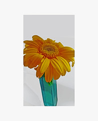 Yellow in Blue (MJB1956) Tags: yellow golden flower blue aqua vase white background