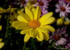 Yellow Daisy (Bob.W) Tags: daisy yellow ngc npc sunrays5 coth5
