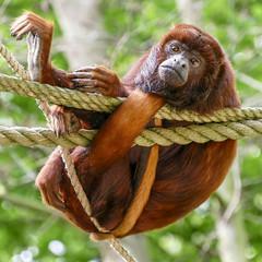 In de knoop (aj.lindeboom) Tags: monkey gaiazoo brulaap