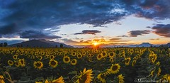 Sunflower field sunset (Mavroudakis Fotis) Tags: against backdrop background beautiful branch colorful dry dusky evening field flowers landscape natural sky sun tree use design season summer cloud nheaven web brasilnch meadow farm rural springs lighting skies falling template plantationstion scape land nature side space dog mountain day cloudy fall morning cloudscape plant outdoor light sunrise sunflower twilight sunset agriculture hill copy trees dusk autumn waterfall country greece