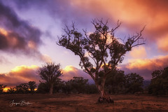 Gum Tree (Jacqui Barker Photography) Tags: gumtree flindersranges southaustralia southaustraliaoutback australia australianoutback sunrise