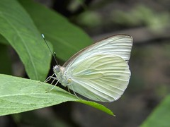 Fuzzy White (clarkcg photography) Tags: butterfly white reflects leaves green macro wednesdaymacro 7dwf