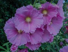 Hollyhock flowers (frankmh) Tags: plant flower hollyhock helsingborg skåne sweden outdoor