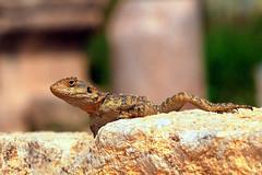 Lizard (Jordan desert) (Manuel Chagas) Tags: manuelchagas olympus olympuse5 sigma sigma150mmf28 macro lizard lagarto desert deserto jordan jordânia explore